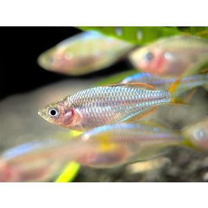 (熱帯魚・レインボーフィッシュ)ネオンドワーフレインボー SMサイズ 50匹|mame-store