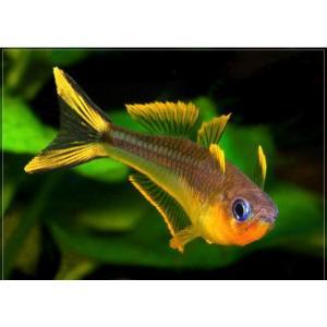(熱帯魚・レインボーフィッシュ)ポポンデッタ フルカタ SMサイズ 10匹|mame-store