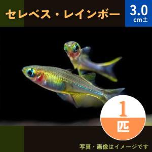 (熱帯魚・レインボーフィッシュ)セレベスレインボー SMサイズ 5匹|mame-store
