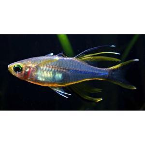 (熱帯魚・レインボーフィッシュ)セレベスレインボー SMサイズ 10匹|mame-store