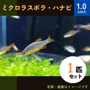(熱帯魚・コイ)ミクロラスボラSP.HANABI SMサイズ 3匹|mame-store