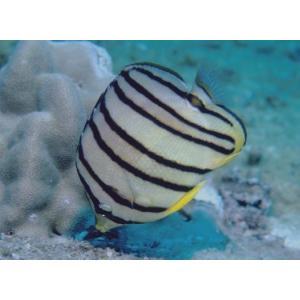 (海水魚・チョウチョウウオ) ヤスジチョウチョウウオ 5cm± 3匹|mame-store