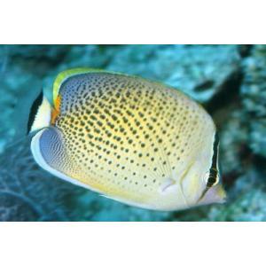 (海水魚・チョウチョウウオ) スポッテッドバタフライ(スリランカ産) 6cm± 3匹|mame-store