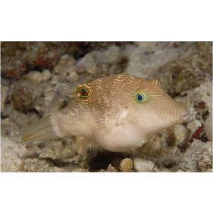 (海水魚・フグ)ヒメキンチャクフグ 5cm± 3匹 mame-store