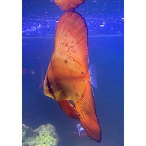 (海水魚・チョウチョウウオ) ナンヨウツバメウオ 幼魚サイズ 2匹|mame-store
