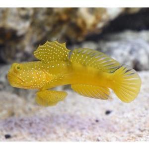 (海水魚・ハゼ) ギンガハゼ イエロー 5cm± 3匹|mame-store