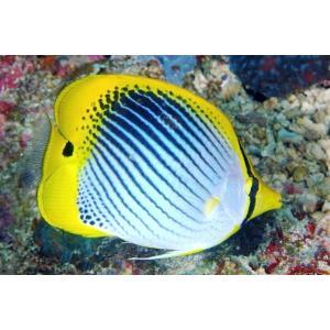 (海水魚・チョウチョウウオ) スポットテールバタフライフィッシュ 6cm± 3匹|mame-store