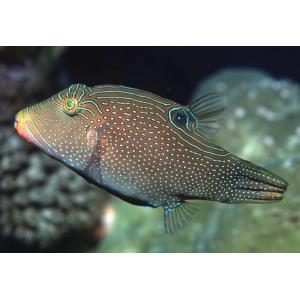 (海水魚・フグ)インドパシフィックトビー 6cm± 3匹 mame-store