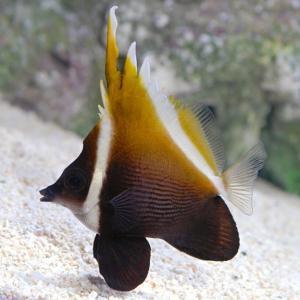 (海水魚・チョウチョウウオ) ツノハタタテダイ 5cm± 2匹|mame-store