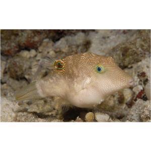 (海水魚・フグ)ヒメキンチャクフグ 5cm± 1匹 mame-store