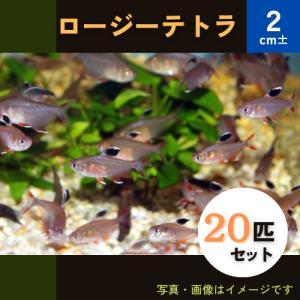 (熱帯魚・カラシン)ロージーテトラ MSサイズ 30匹|mame-store
