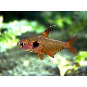 (熱帯魚・カラシン)レッドファントムテトラ SMサイズ 5匹|mame-store