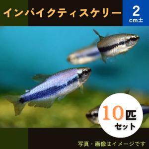 (熱帯魚・カラシン)インパクティスケリー 2cm± 10匹|mame-store