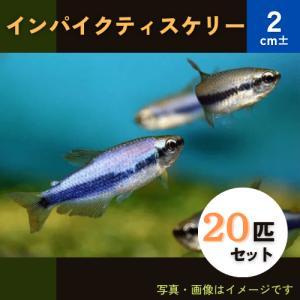 (熱帯魚・カラシン)インパクティスケリー SMサイズ 30匹|mame-store
