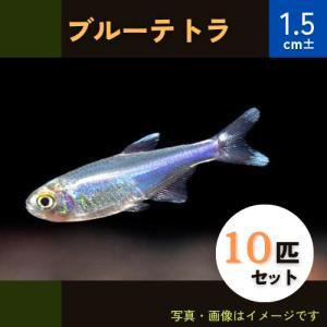 (熱帯魚・カラシン)ブルーテトラ SMサイズ 10匹|mame-store