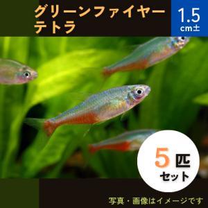 (熱帯魚・カラシン)グリーンファイヤーテトラ 1.5cm± 5匹|mame-store
