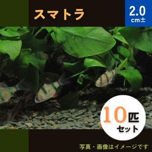 (熱帯魚・コイ)スマトラ MSサイズ 10匹|mame-store