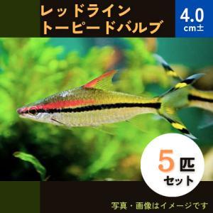 (熱帯魚・コイ)レッドライントーピードバルブ 5cm± 5匹|mame-store