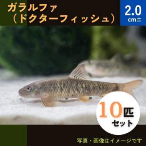 (熱帯魚・コイ・ドジョウ)ガラ ルーファ (ドクターフィッシュ) 3cm± 10匹|mame-store