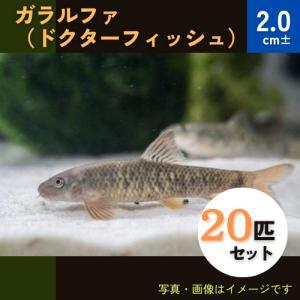 (熱帯魚・コイ・ドジョウ)ガラ ルーファ (ドクターフィッシュ) 3cm± 30匹|mame-store