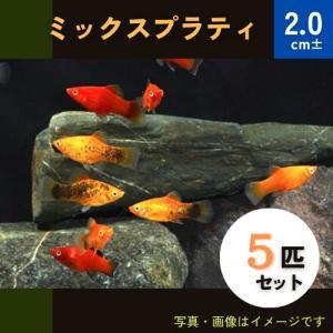(熱帯魚・カダヤシ・メダカ)ミックスプラティ 5匹|mame-store