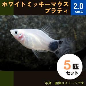(熱帯魚・カダヤシ・メダカ)ホワイトミッキーマウスプラティ 5匹|mame-store