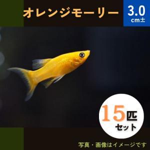 (熱帯魚・カダヤシ・メダカ)オレンジモーリー 20匹|mame-store