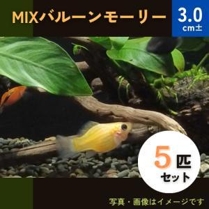 (熱帯魚・カダヤシ・メダカ)ミックスバルーンモーリー 5匹|mame-store