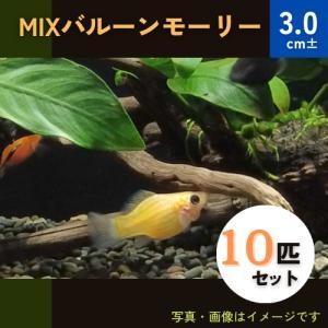 (熱帯魚・カダヤシ・メダカ)ミックスバルーンモーリー 10匹|mame-store
