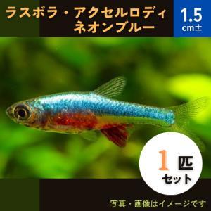 (熱帯魚・ラスボラ)ラスボラ・アクセルロディ・ネオンブルー 1.5cm± 1匹|mame-store