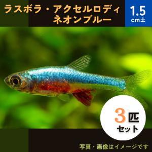 (熱帯魚・ラスボラ)ラスボラ・アクセルロディ・ネオンブルー MSサイズ 5匹|mame-store