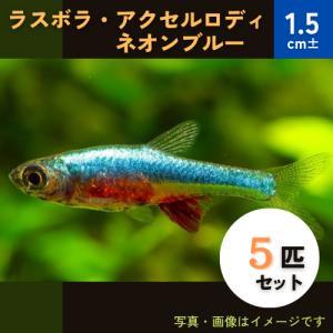 (熱帯魚・ラスボラ)ラスボラ・アクセルロディ・ネオンブルー 1.5cm± 5匹|mame-store