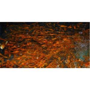【生き餌】小赤 400匹|mame-store