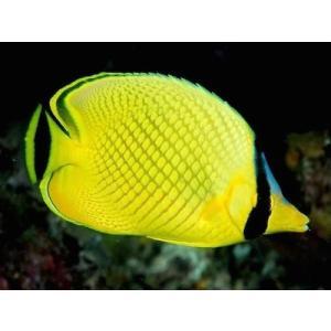 (海水魚・チョウチョウウオ) アミチョウチョウウオ 6cm± 3匹|mame-store