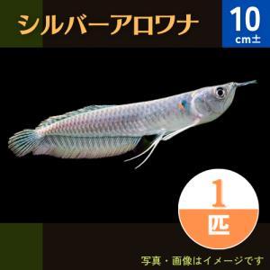 (熱帯魚・古代魚)シルバーアロワナ 13cm± 1匹 ※(冬季)九州・沖縄・北海道発送不可|mame-store