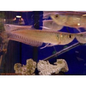 (熱帯魚・古代魚)シルバーアロワナ 13cm± 2匹 ※九州・沖縄・北海道発送不可|mame-store