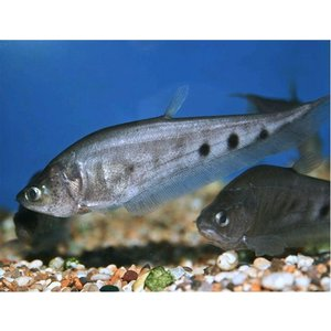 (熱帯魚・古代魚)スポッテッドナイフ 7cm± 1匹|mame-store