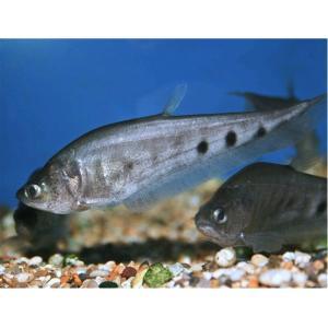 (熱帯魚・古代魚)スポッテッドナイフ 7cm± 3匹|mame-store