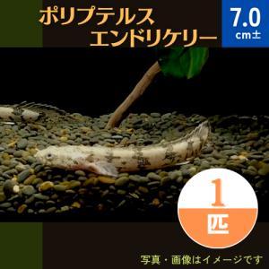 (熱帯魚・古代魚)ポリプテルス・エンドリケリー カミハタブリード 7cm± 1匹|mame-store