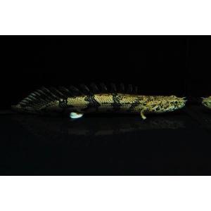 (熱帯魚・古代魚)ポリプテルス・エンドリケリー カミハタブリード  7cm± 2匹|mame-store
