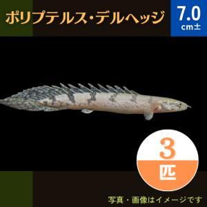 (熱帯魚・古代魚)ポリプテルス・デルヘッジ  6cm± 5匹|mame-store