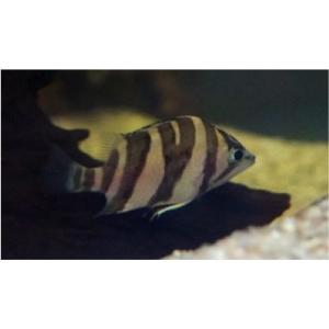 (熱帯魚・汽水魚・その他) ダトニオプラスワン  3cm±  3匹|mame-store