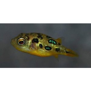 (熱帯魚・フグ) アベニーパファー SMサイズ 3匹|mame-store