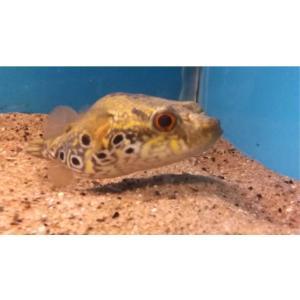 (熱帯魚・フグ) インドシナ・レオパードパファー タイ産 6cm± 1匹|mame-store