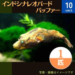 (熱帯魚・フグ) インドシナ・レオパードパファー タイ産 6cm± 2匹|mame-store