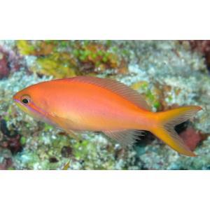 (海水魚・ハナダイ) アカネハナゴイ 5cm± 1匹 mame-store