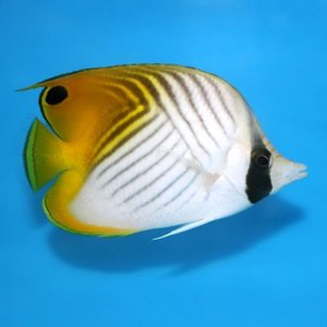 (海水魚・チョウチョウウオ) フウライチョウチョウウオ 6cm± 3匹|mame-store