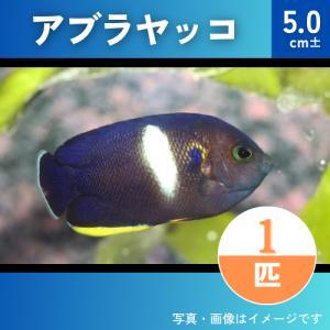 (海水魚・スズメダイ) アブラヤッコ  5cm± 1匹|mame-store