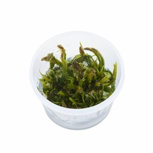 (Tropica・水草) クロカワゴケ 1・2・grow!(tropicaトロピカ) 1カップ|mame-store