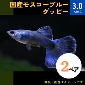 (熱帯魚・メダカ・グッピー)国産モスコブルー  2ペア|mame-store